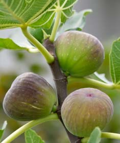 figs for fig butter