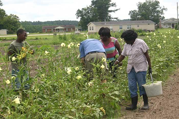 Picking okra in Conetoe NC